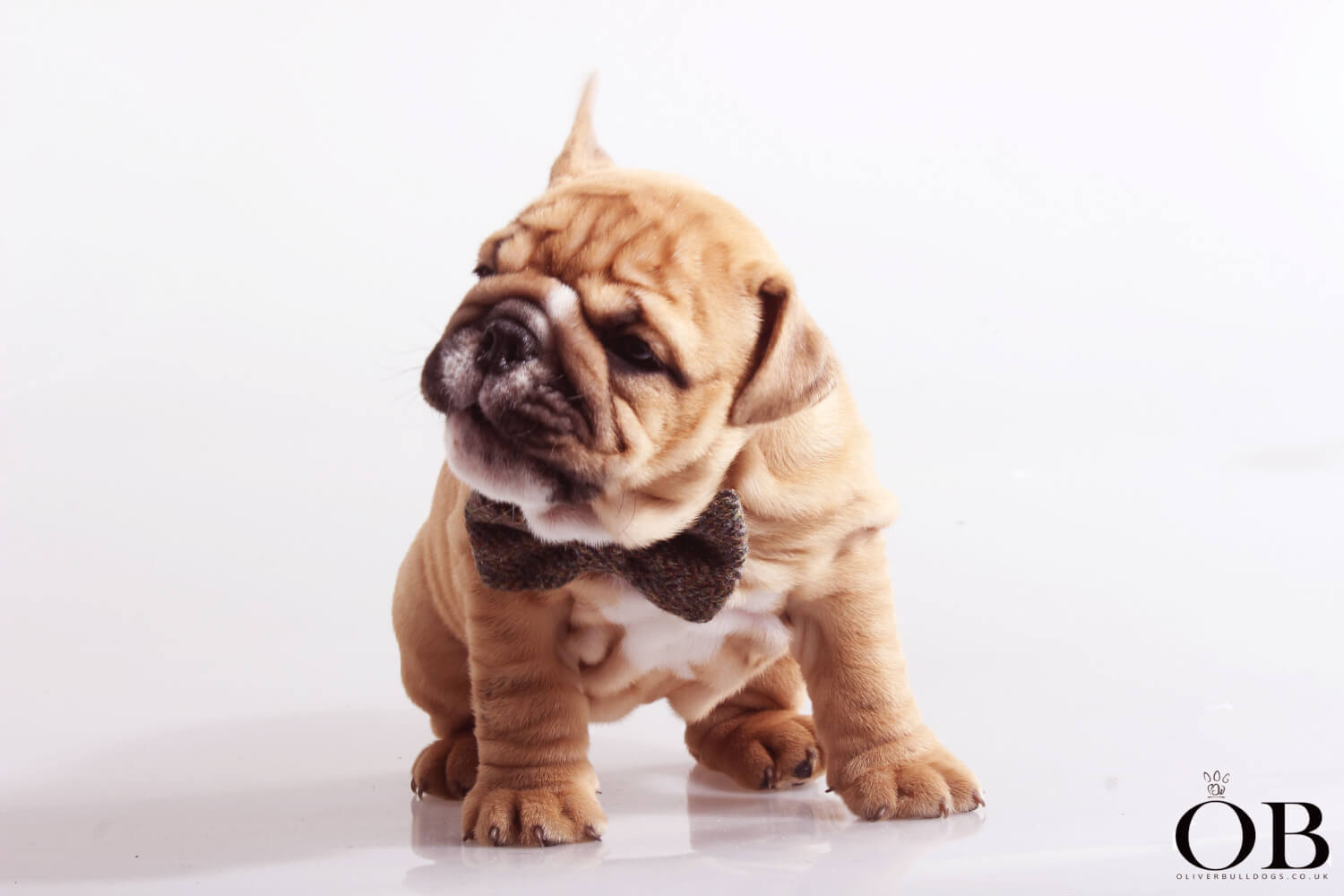 Ob british bulldog puppy