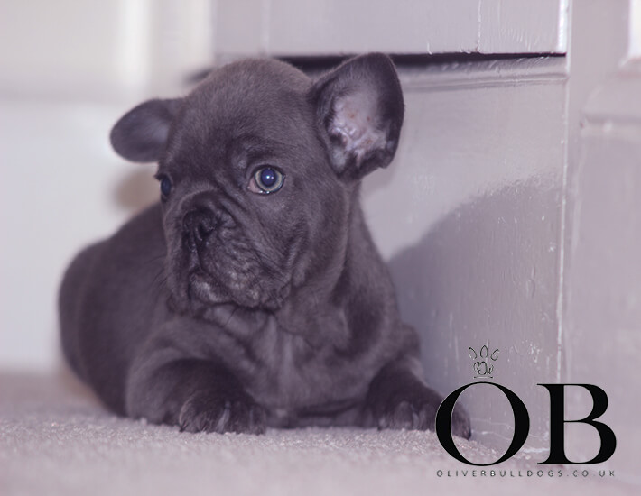 French Bulldog Puppies - Oliver Bulldogs