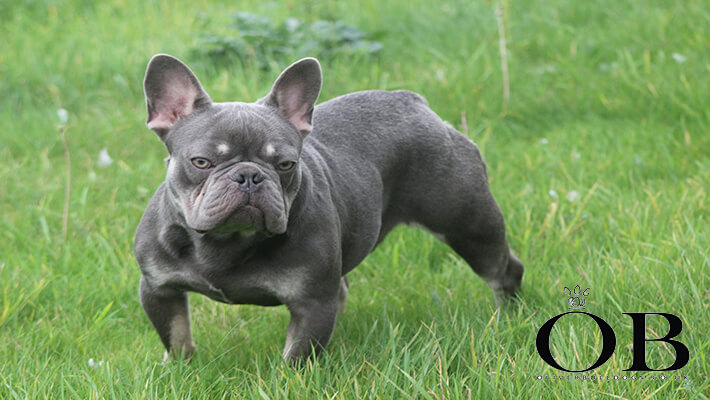 Leo French bulldog stud