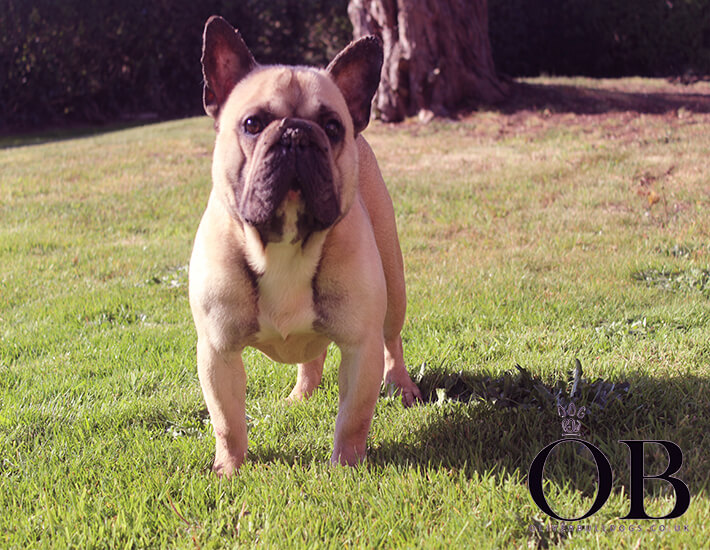 French bulldog ronnie